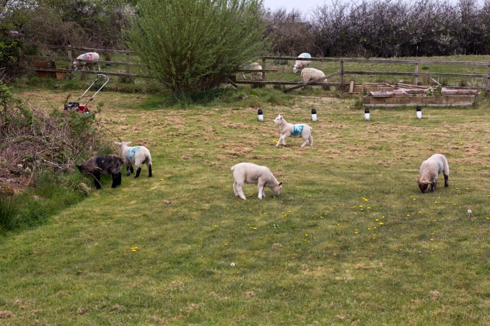 Back home at Mum's house, the sheep were invading.